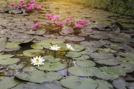 Lotus pond in Thailand, outdoor day light, white and pink lotus flower in natural pond Stok Fotoğraf