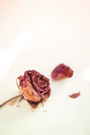 Dry red rose with vintage filter effect, love and romance, valentine concept