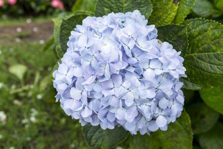 Blue Hydrangea flower, spring garden, nature concept