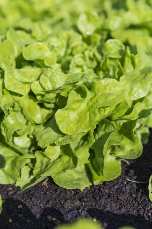 Closeup green lettuce leaves, morning outdoor day light, organice farming, healthy diet food, fresh vegetable