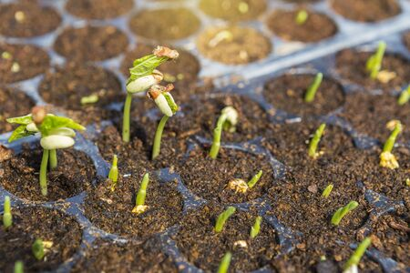 Young green bean and sweet corn plant growing in peat moss soil, how to plant vegetable, fresh life, agriculture and organice vegetable garden Reklamní fotografie