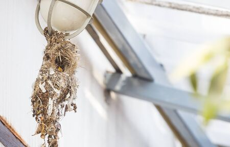 Baby Sunbird in the nest hanging on outdoor lamp of the house, outdoor day light, bird hungry waiting for food