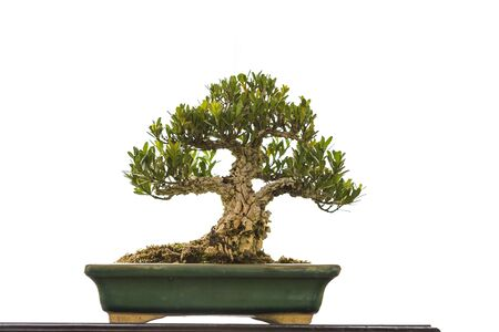 Asian bonzai growing in ceramic plate isolate on white background, decorate plant