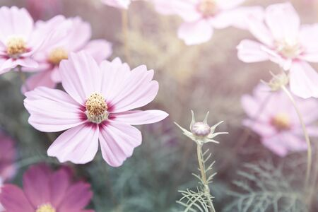 Closeup cosmos flower garden, vintage tone style, outdoor day light, nature concept background Reklamní fotografie