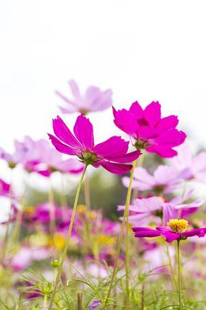 Colorful cosmos flower garden, outdoor day light, nature concept
