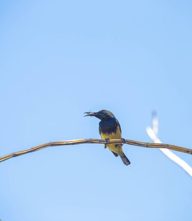 Male Sunbird with his food on dry branch over blurred blue sky background, wild animal