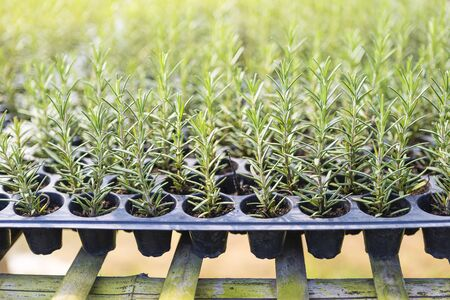 Young rosemary plant growing in the nursery plant house, healthy fresh herbs, outdoor day light Stok Fotoğraf