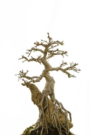 Asian Bonsai growing on the stone, Japanese art, small tree growing in beautiful shape isolate on white background, try planting