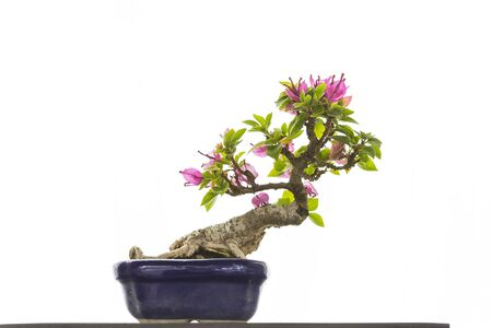 Flower bonsai, Japanese art, beautiful plant tray isolate on white background Stok Fotoğraf