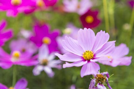 Closeup beautiful cosmos flower over blurred garden background, morning outdoor day light, nature concept background, spring or summer season Stok Fotoğraf