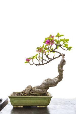 Flower plant Japanese bonsai isolate on white background, trey plant Stok Fotoğraf