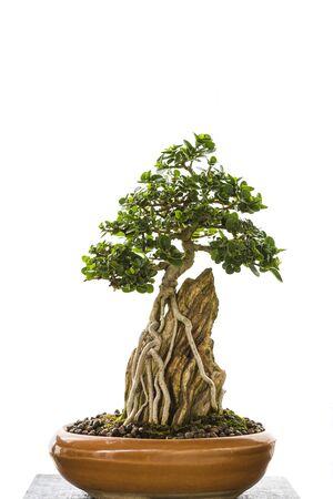Japanese bonsai art, beautiful small tree growing on stone in ceramic tray