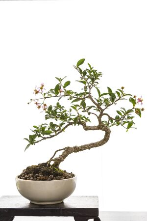 Japanese tray plant art, beautiful bonsai, small tree growing in the bowl isolate on white background Stok Fotoğraf