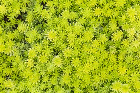 Sedum repestre or blue spruce sedum, low growing plant, nature background, green leavese