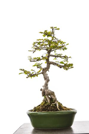 Tray plant, Japanese bonsai art, small plant growing in ceramic tray isolate on white background Stok Fotoğraf