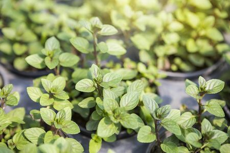 Black mint plant from nursery plant hous, outdoor day light, agriculture and organic garden, healthy food, fresh herb