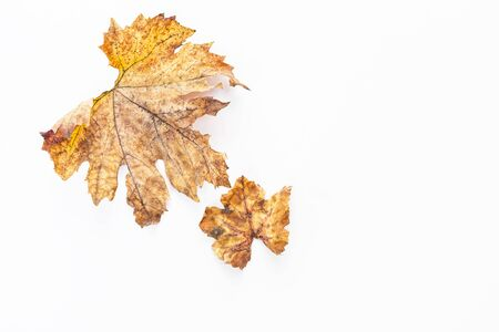 Dry leaves isolate on white background, autumn and fall season concept, grape leaf