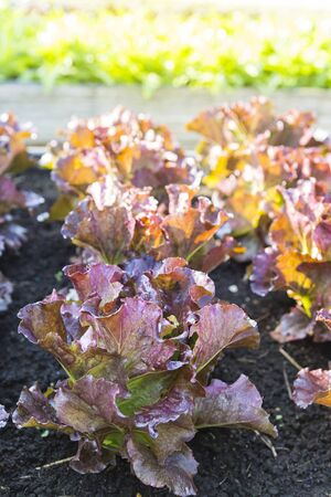 Red leaf lettuce garden, organice farming in Thailand, outdoor day light, agriculture industry, nature concept, healthy food