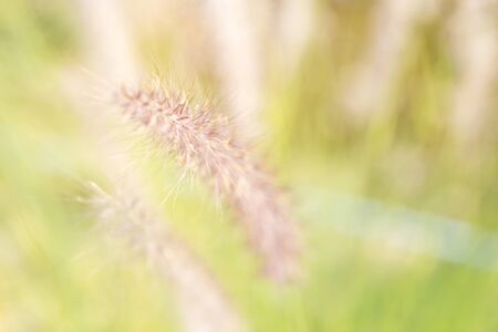Abstract blurred grass flower background, nature concept background, selective focus, outdoor day light Stok Fotoğraf