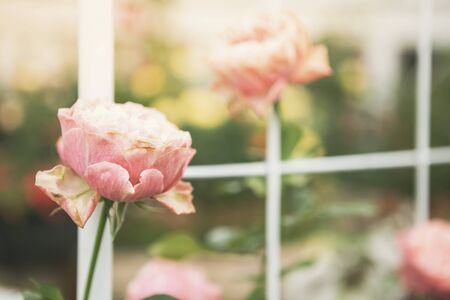 Abstract blurred rose garden background, nature concept, outdoor day light, love and romance, valentine background idea Stok Fotoğraf