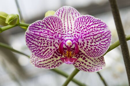Beautiful closeup colorful Vandeae orchid flower, nature concept, spring and summer blooming flower, orchid garden