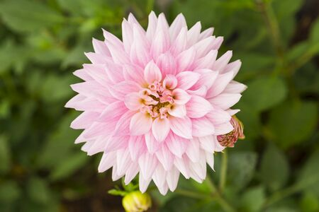 Beautiful closeup pink Dahlia flower over blurred green garden background, the flower of all flower, spindle shaped pink flower, spring and summer season, nature concept