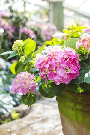 Beautiful pink Hydrangea flower in clay pot over blurred flower garden background, morning outdoor day light, flower garden, nature concept, spring and summer season Stok Fotoğraf