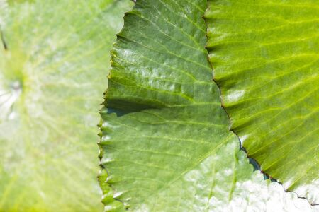 Closeup green lotus leaf texture background, nature concept background, outdoor day light