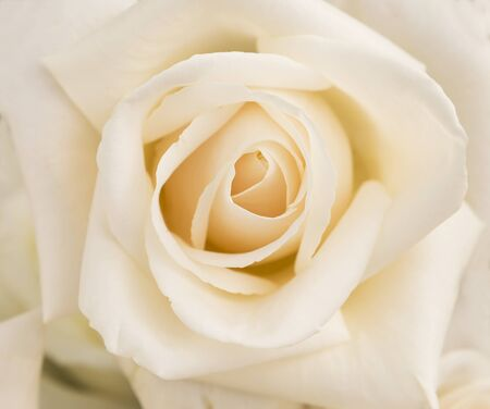 Closeup white rose flower, nature background, anniversary and wedding background Stok Fotoğraf