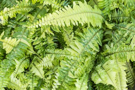 Colorful green fern leaves background, nature concept background, ecological concept, spring and summer garden