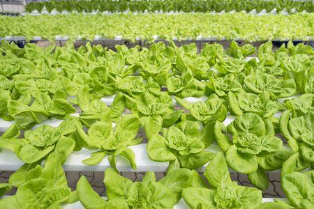 Green lettuce garden, hydroponic system farming, organic vegetable Stok Fotoğraf