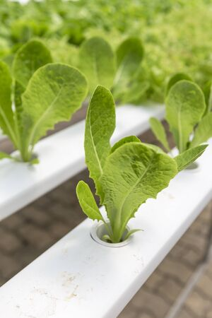 Young cos lettuce growing, hydroponic garden, new vegetable gardening technology