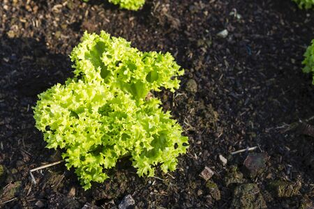 Young green lettuce growing in the healthy soil, morning outdoor day light, organic vegetable garden Stok Fotoğraf