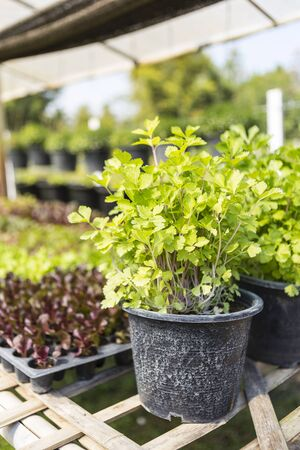 Young parsley plant in plant pot over blurred vegetable garden background, organic vegetable farming, herb plant, healthy food Stok Fotoğraf