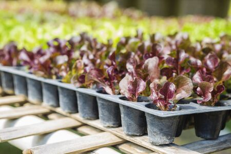 Young red leaf lettuce in plant tray, seeding process, organic vegetable farming