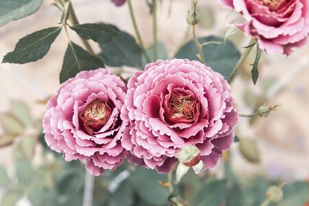 Beautiful pink rose garden, vintage tone style, nature concept