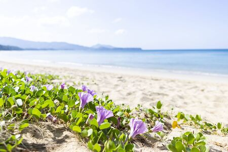 Beach morning glory blooming on the sand over blurred blue sea, outdoor day light, nature concept background