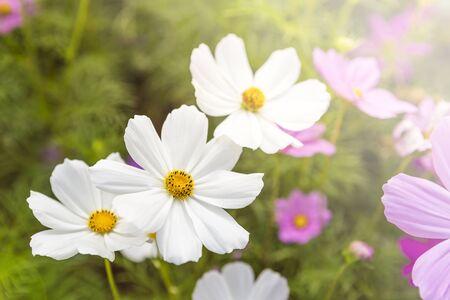 White cosmos flower garden, nature concept background, spring or summer season garden, outdoor day light