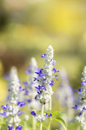 Closeup blue salvia flower over blurred nature background, outdoor day light, flower garden