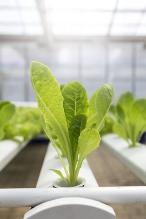 Young green lettuce growing in hydroponic farm, indoor day light, agriculture industry