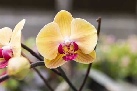Colorful orchid over blurred background, orchid flower garden in Thailand, outdoor day light