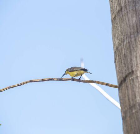 Bird on the dry branch over blurred blue sky, animal life, female sunbird