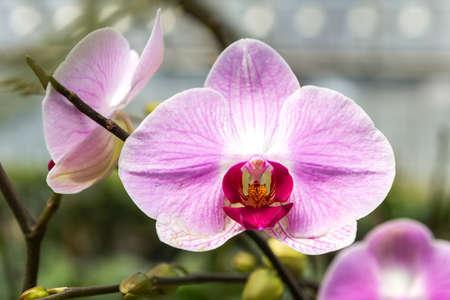 Closeup beautiful pink orchid flower, orchid farming, tropical flower garden Zdjęcie Seryjne