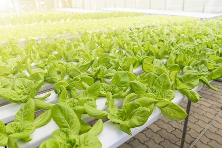 Hydroponic farming in Asia, lettuce growing in green house, organic vegetable farming