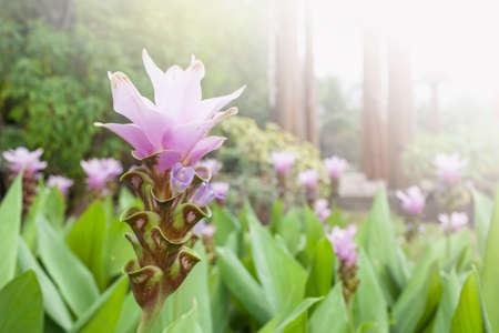 Purple Siam tulip flower garden from the park in northern Thailand, monsoon season garden, outdoor day light Stok Fotoğraf - 154988616