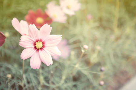 Cosmos flower with blurred garden background, vintage tone style, nature concept background Stok Fotoğraf - 155209529