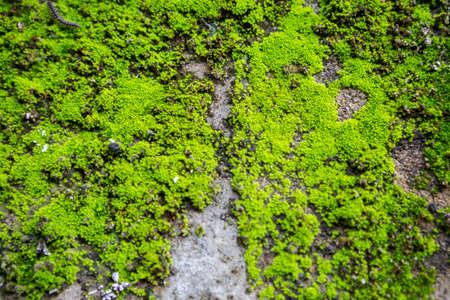 Blurred green moss growing on the wall, insect living in green moss, nature concept background Stok Fotoğraf - 155444336