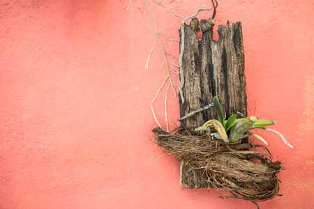 Old wood with orchid plant hanging on red cement wall, growing orchid on old piece of wood, gardening idea