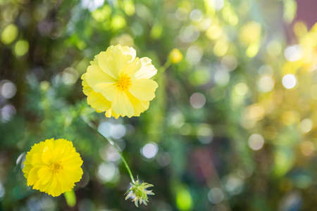 Yellow cosmos flower garden with morning outdoor day light, nature concept background, spring or summer season