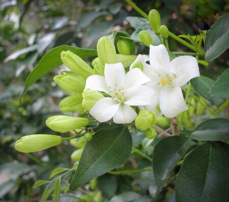 orange jasmine;Murraya paniculata ;Cosmetic Bark Tree on blossom in garden. Imagens